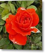Orange Mini-rose Metal Print