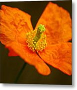Orange Paper Poppy Metal Print