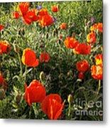 Orange Poppies In Sunlight Metal Print