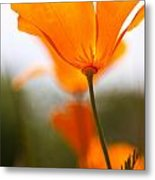 Orange Poppy In Sunlight Metal Print