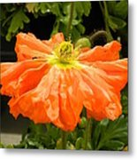 Orange Skirted Poppy  Metal Print