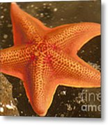 Orange Starfish In California Ocean Metal Print by Artist and Photographer Laura Wrede