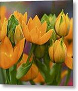 Orange Stars - Floral - Ornithogalum Dubium - Sun Stars Metal Print