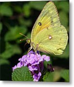 Orange Sulphur Metal Print