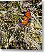 Orange Swallowtail Metal Print