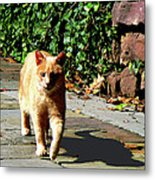 Orange Tabby Taking A Walk Metal Print