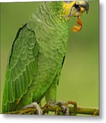 Orange-winged Parrot Amazonian Ecuador Metal Print