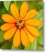 Orange Zenia Metal Print