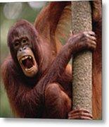 Orangutan Hanging On Tree Metal Print