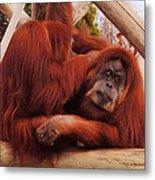 Orangutans Grooming Metal Print
