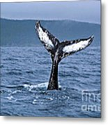 Orca Bitemarks On Humpback Tail Metal Print