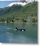 Orca Female Inside Passage Alaska Metal Print
