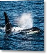 Orca Whale On The Move Metal Print by Puget  Exposure
