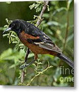 Orchard Oriole Male Metal Print