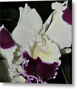 orchid 221 Cattleya Moscombe 'The King'  1 of 3 Metal Print