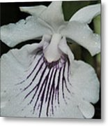Orchid Cochleanthes Aromatica  Menehune Metal Print