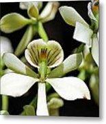 Orchid Encyclia Fragrans Metal Print
