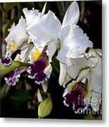 Orchid Laeliocattleya Lucie Hausermann With Buds 4074 Metal Print
