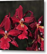 Orchid Red Burrageara Living Fire  Glowing Ember Metal Print