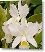 Orchid Sophronitis Metal Print