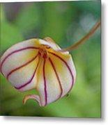 Orchids - Masdevallia Hybrid Metal Print