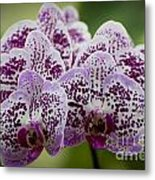 Orchids Pictures 11 Metal Print