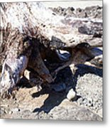 Oregon Beach - Driftwood Trunk Metal Print
