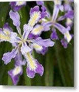 Oregon Irises In Bloom Closeup Metal Print