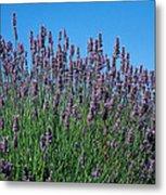 Organic Lavender Metal Print