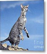 Oriental Cat Metal Print