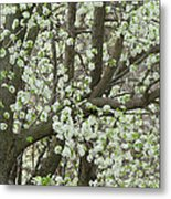 Oriental Pear Tree Metal Print