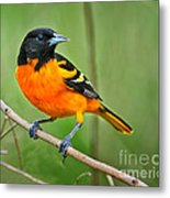 Oriole Perched Metal Print