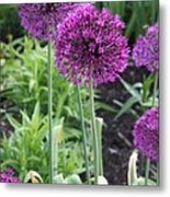 Ornamental Leek Flower Metal Print