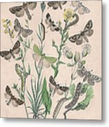 Orthosidae - Hadenidae Metal Print