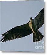 Osprey Above The Androscoggin Metal Print