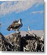 Osprey And Catch Metal Print