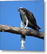 Osprey And Fish No.4  Metal Print
