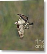Osprey Carrying Small Fish Metal Print