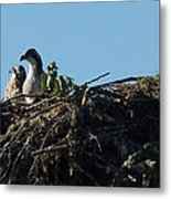 Osprey Chicks In Nest Metal Print