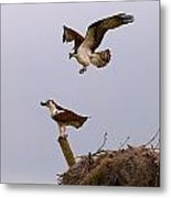 Osprey Coming In Metal Print