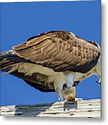 Osprey Eating Lunch Metal Print
