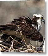 Osprey Family Huddle Metal Print