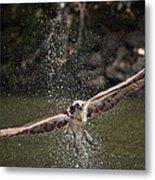 Osprey Fishing The Nequasset River Metal Print by Allen Ponziani
