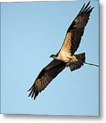 Osprey Flying With Nesting Material Metal Print