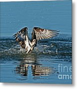 Osprey Getting Out Of The Water Metal Print