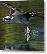 Osprey Hunter Metal Print