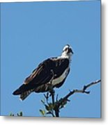 Osprey In A Tree Metal Print
