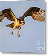 Osprey In Flight Metal Print