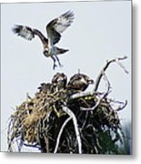 Osprey In Flight Over Nest Metal Print