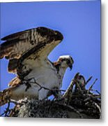Osprey In The Nest Metal Print